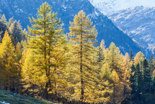 Autumn Larch Tree Forest In Th...