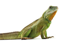 Indochinese Water Dragon