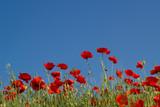 Fototapeta Bestsellery łąka czerwony pole