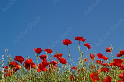 Fototapeta łąka czerwony pole