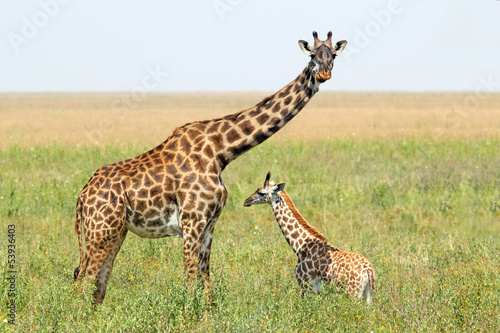 Baby giraffe and mother Poster