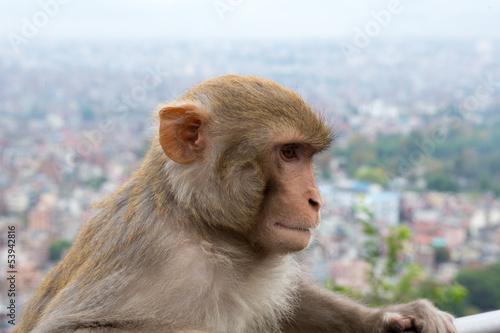 In de dag Monkey at the Swayambhunath temple in Nepal