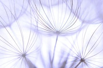 fototapeta piękne nasiona mniszka lekarskiego