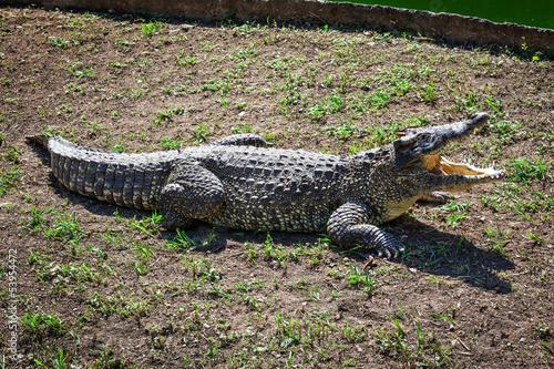 Poster Crocodile crocodile on the ground