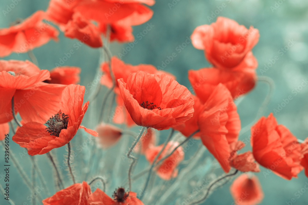 Fototapeta red poppy flowers