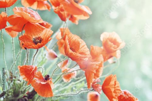 Blossom poppy