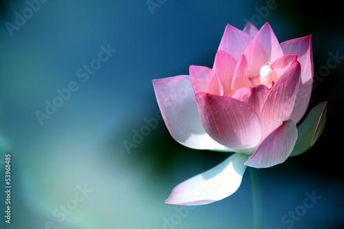Garden Poster Lotus flower lotus flower