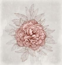Vintage Illustration Of Peony Flower
