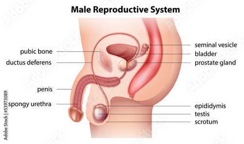 Foto Male reproductive system