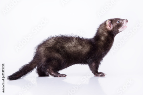 Photo  small rodent ferret