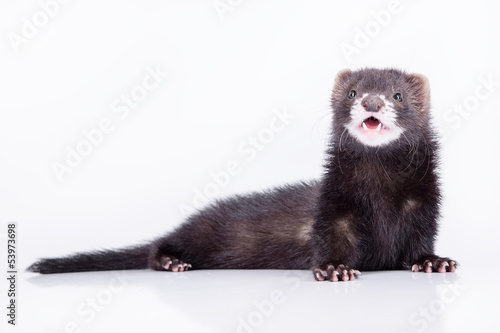 Fotografering  small rodent ferret