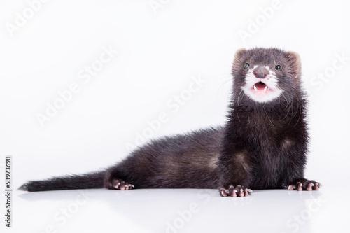 small rodent ferret Fototapet