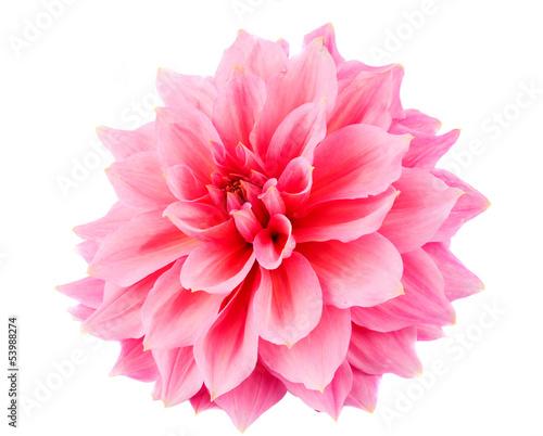 Foto op Canvas Dahlia pink dahlia