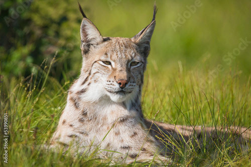 Proud lynx laying in the grass #53990851