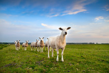 Sheep Herd On Pasture