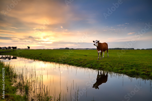 Photo Stands Cow red cow by river at sunset