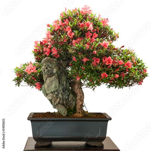 Papiers peints Azalea Rhododendron indicum Bonsai mit roten Blüten