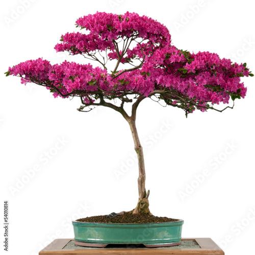Spoed Fotobehang Bonsai Blühende Alpenrose als Bonsai Baum