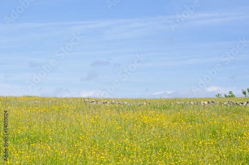 Photo  Field of buttercups.