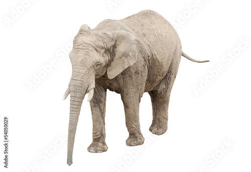 Elephant isolated on white - fototapety na wymiar