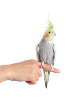 Woman Hand Holding A Cockatiel...