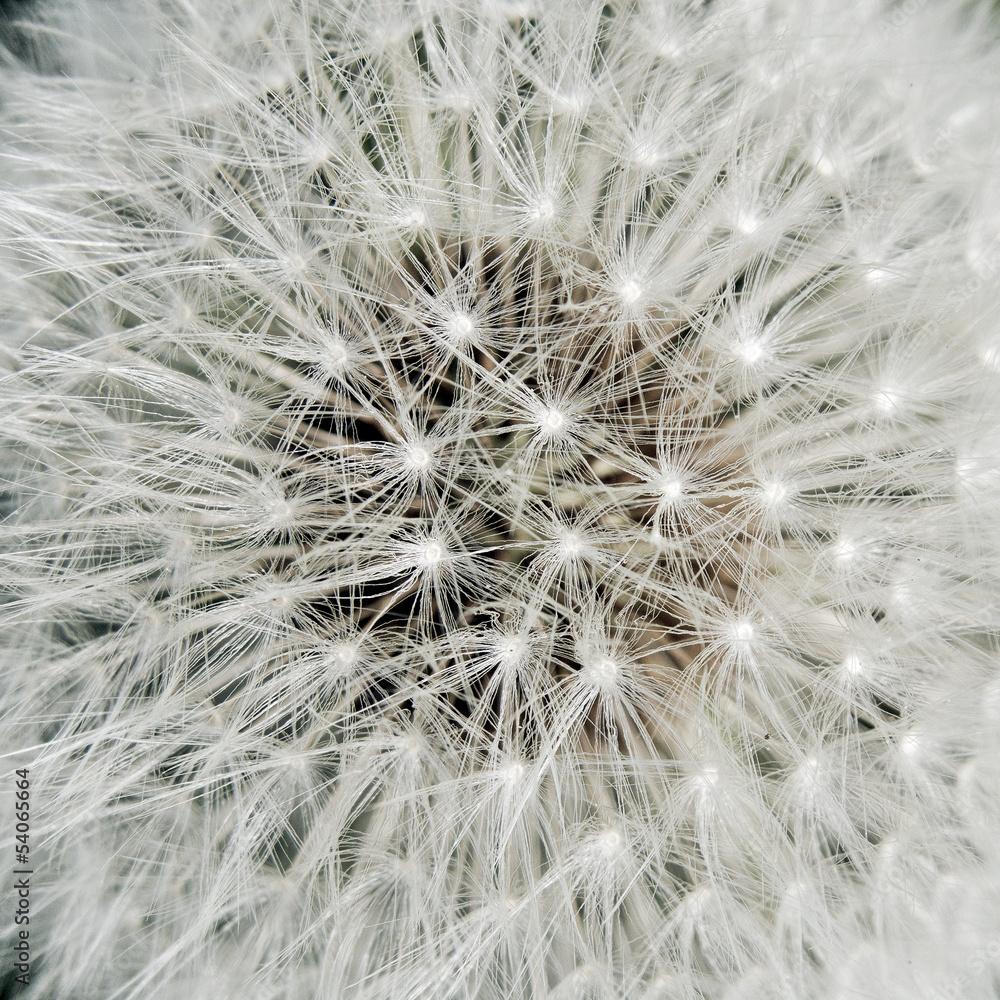 Serce dandelion