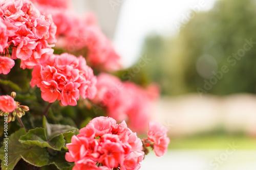 Fotografía Pink geranium