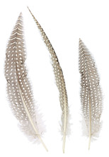 Different Angles Of The Pheasant Feathers Collection