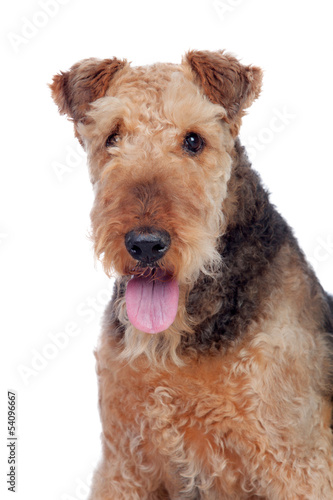 Nice airedale terrier breed dog Wallpaper Mural