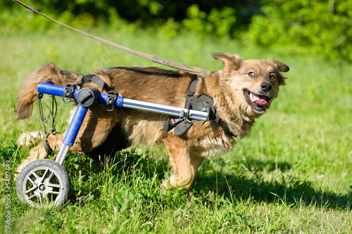 Photo  Dog in a wheelchair