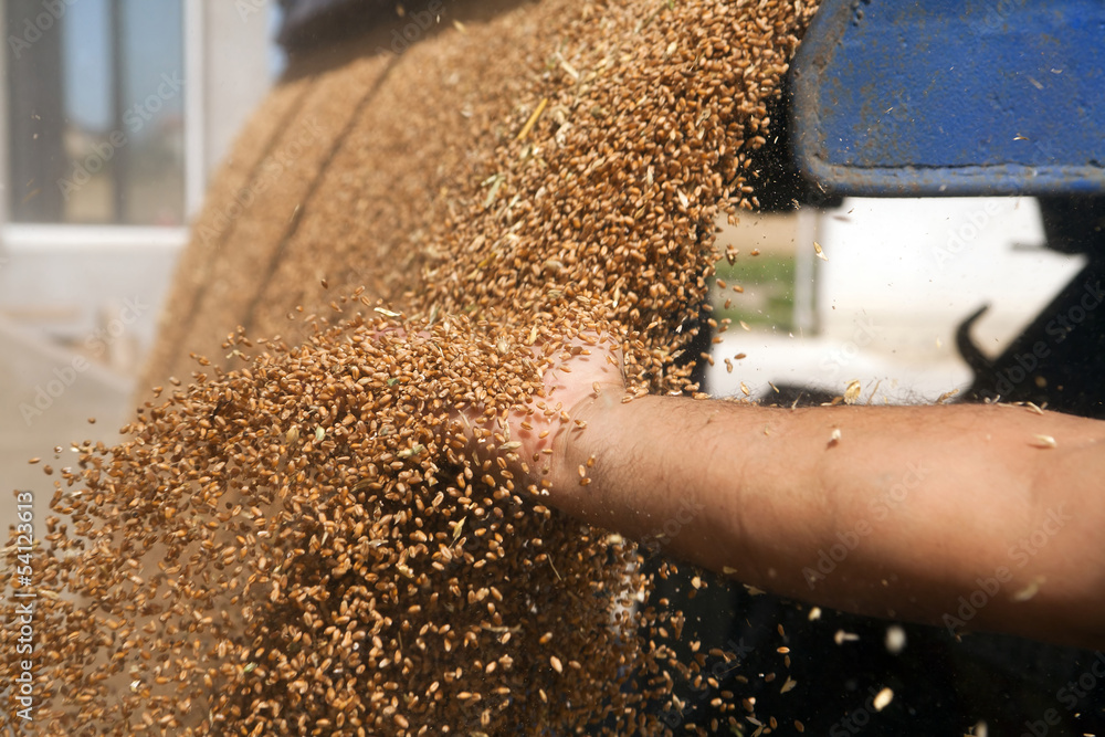 Fototapety, obrazy: Hand with wheat grains