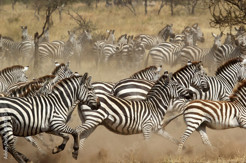 Tuinposter Zebra Herd of zebras gallopping