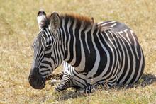 Common Zebra Lying