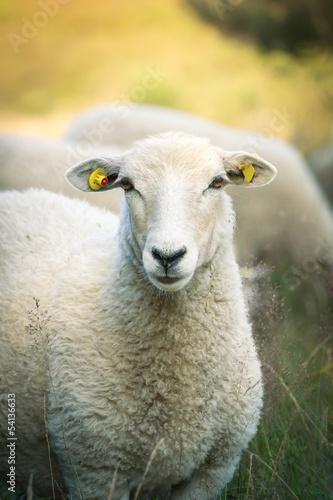 Papiers peints Sheep Sheep on the Heather
