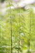 Wald Schachtelhalme (Equisetum sylvaticum)