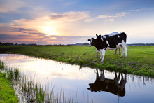 Two Milk Cows By River At Sunset