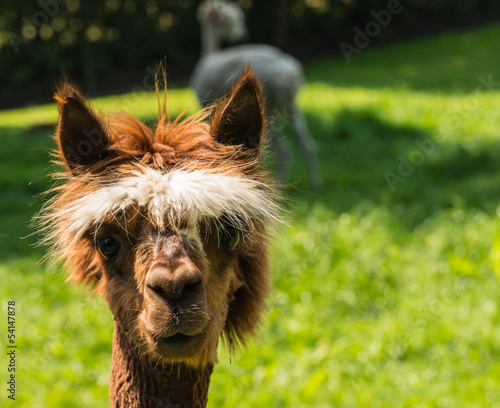 Staande foto Lama Young llama looks at you with big brown eyes
