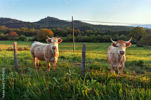 Aluminium Prints Cow two cows looking behind fence