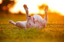 Happy Bull Terrier Dog Lying Upside Down In Sunset