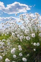 Obraz na SzkleFlowering cotton grass on a background of blue sky
