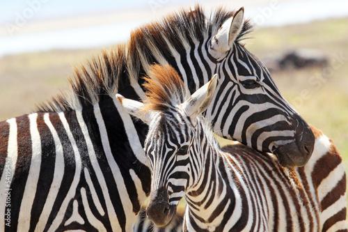 Tuinposter Zebra Baby zebra with mother