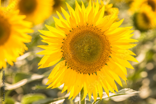 sunflowers - 54201686