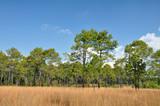 Fototapeta Sawanna - Savannah meadow and pine forest at Thung Salaeng Luang.