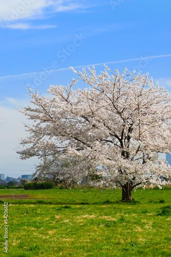 Foto op Canvas Olijfboom 桜-Prunus sp.