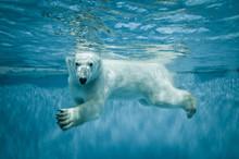 Swimming Thalarctos Maritimus ...