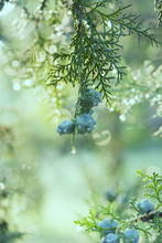 Arizona Cypress Covered With Dew