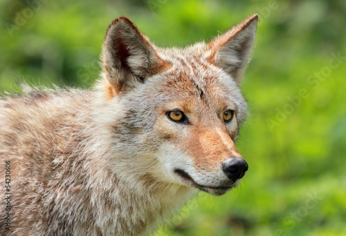 coyote en été Canvas Print