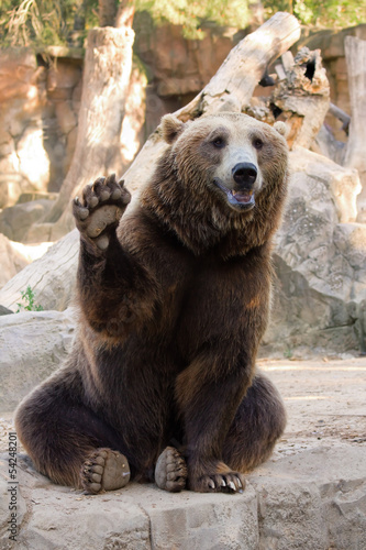 Fotografie, Obraz Brown bear hello