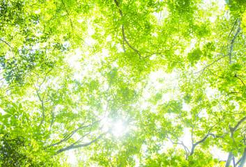 Fototapeta新緑