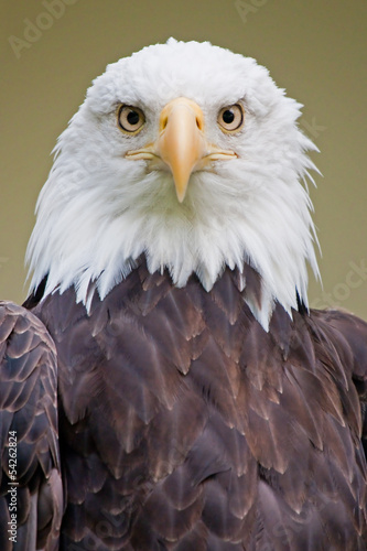 Photo  Weißkopfseeadler 5